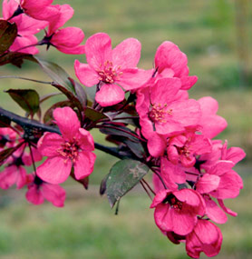 Flowering trees at crain tree farm 30 h x 15 w pink bud double white flower gold fruit great winter interest mightylinksfo
