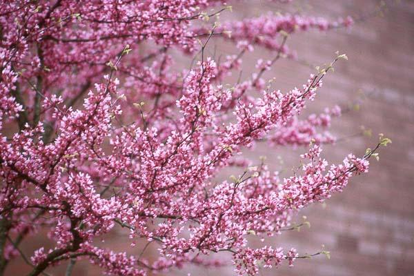 Flowering trees at crain tree farm red bud mightylinksfo