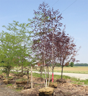 Shade Trees At Crain Tree Farm